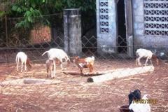 Chèvres et poules font bon ménage